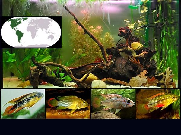 peces ciclidos enanos destacada