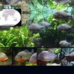 peces pirana destacada