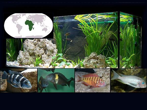 peces tanganyca destacada