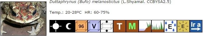 Duttaphrynus (Bufo) melanostictus