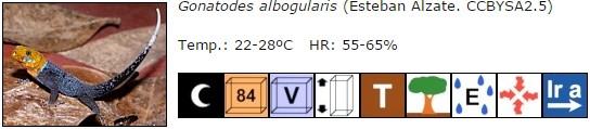 Gonatodes albogularis