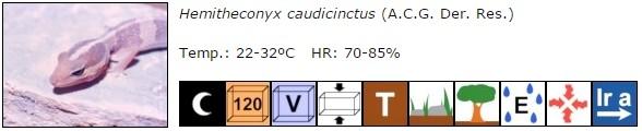 Hemitheconyx caudicinctus