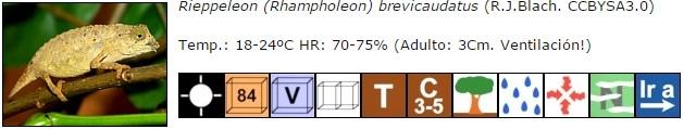Rieppeleon (Rhampholeon) brevicaudatus