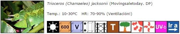 Trioceros (Chamaeleo) jacksonii