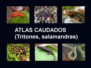 Atlas urodelos