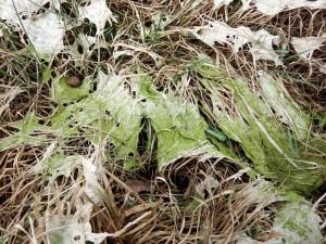 Algas deshidratadas sobre pasto