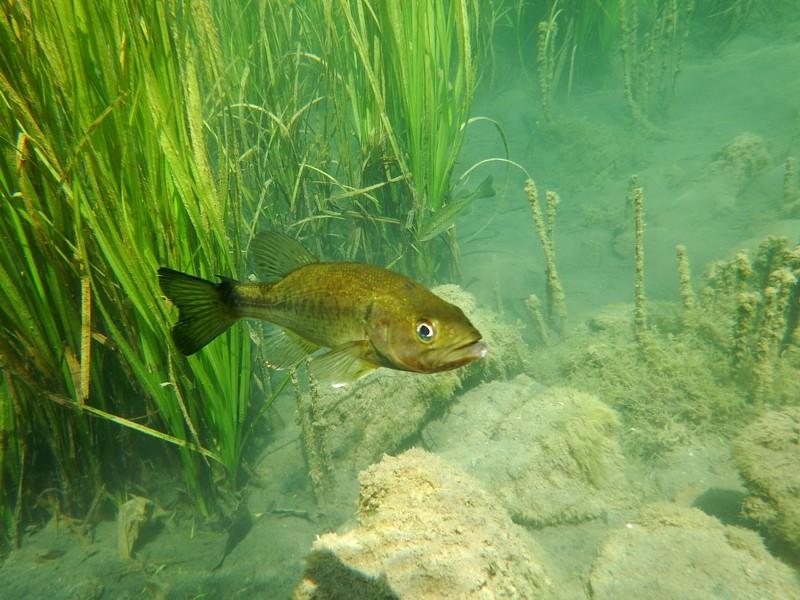 Black bass (Micropterus salmoides). Bañolas
