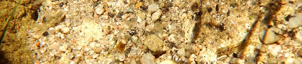 Salaria fluviatilis, alevines. Bañolas
