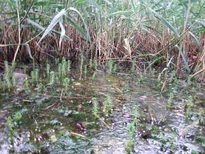 Myriophyllum verticillatum emergiendo