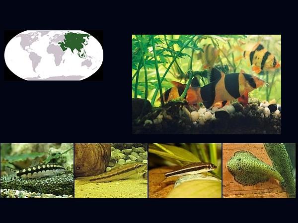 peces botia labeos destacada