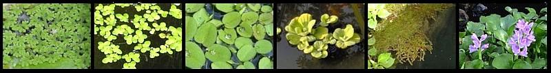 Plantas flotantes