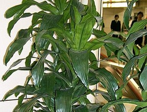 Dracaena deremensis compacta