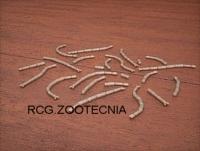 Liofilizados larvas