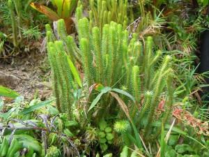 Lycopodium sieberianum