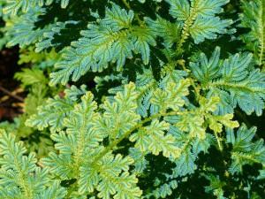 Selaginella willdenovii