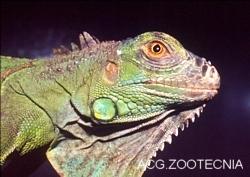 Iguana iguana, detalle cabeza