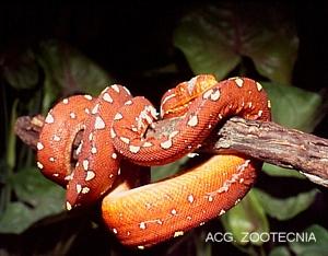Morelia (Chondropython) viridis