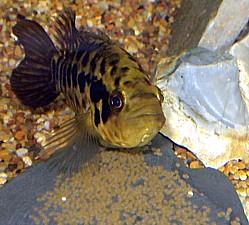 Cría Cichlasoma managuense