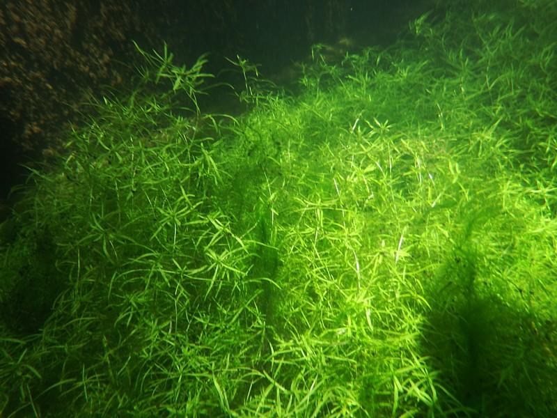Plantas oxigenadoras estanque