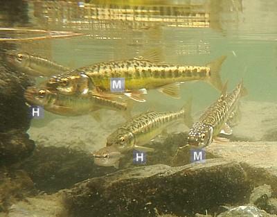 Dimorfismo Phoxinus sp.