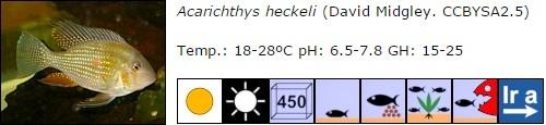 Acarichthys heckeli
