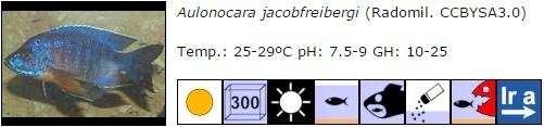 Aulonocara jacobfreibergi