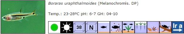 Boraras uraphthalmoides