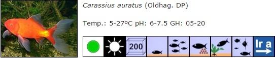 Carassius auratus 00