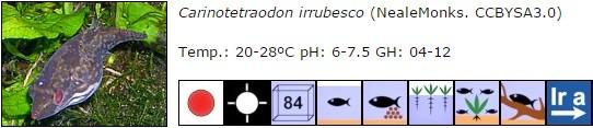 Carinotetraodon irrubesco