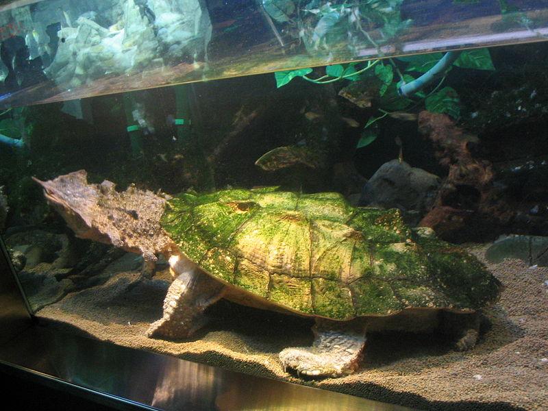 Chelus fimbriatus