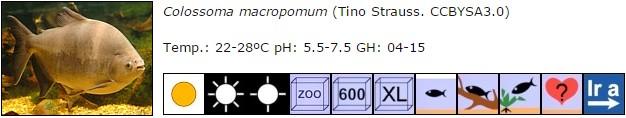 Colossoma macropomum