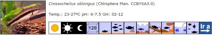 Crossocheilus oblongus