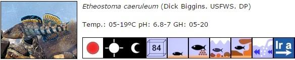 Etheostoma caeruleum