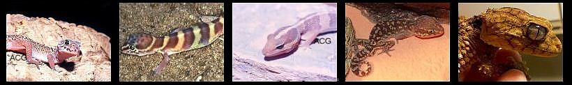 Geckos terrestres