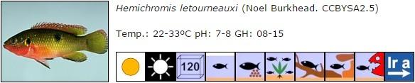 Hemichromis letourneauxi