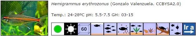 Hemigrammus erythrozonus