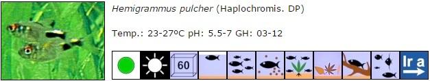 Hemigrammus pulcher
