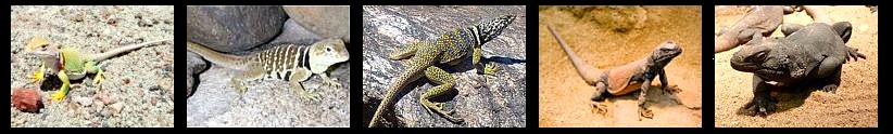 Iguanidos desertícolas