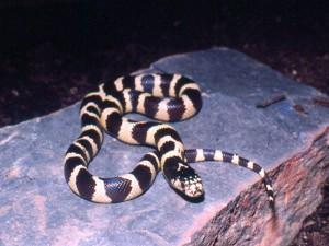"Lampropeltis getulus californiae ""anillada"""