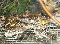 Langosta migratoria (Locusta migratoria)