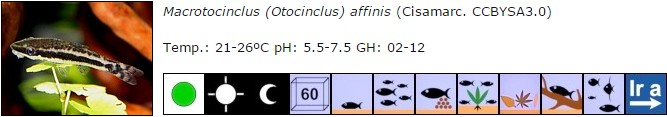 Macrotocinclus (Otocinclus) affinis