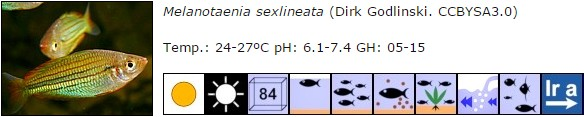 Melanotaenia sexlineata