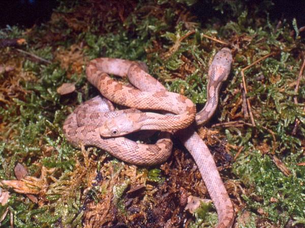 Panterophis guttata