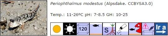 Periophthalmus modestus