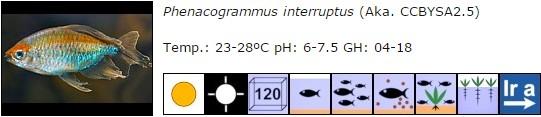 Phenacogrammus interruptus