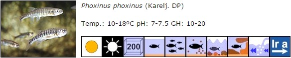 Phoxinus phoxinus