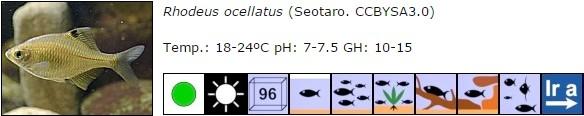 Rhodeus ocellatus