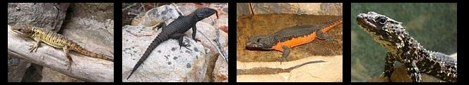Saurios biotopos áridos africanos
