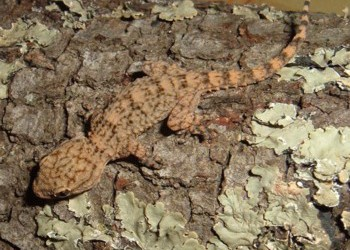 Tarentola mauritanica sobre encina