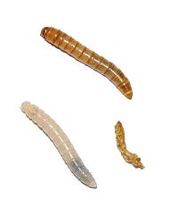 Tenebrio molitor, gusano de la harina
